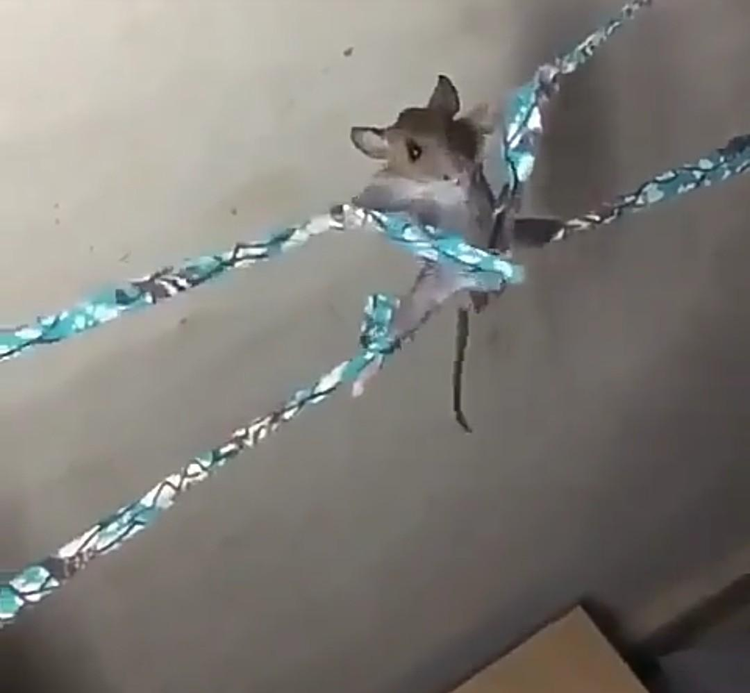 Lady ties and flogs rat with cane after she almost hit her head trying to kill it Video The Untame News Lady ties and flogs rat with cane after she almost hit her head trying to kill it (Video)